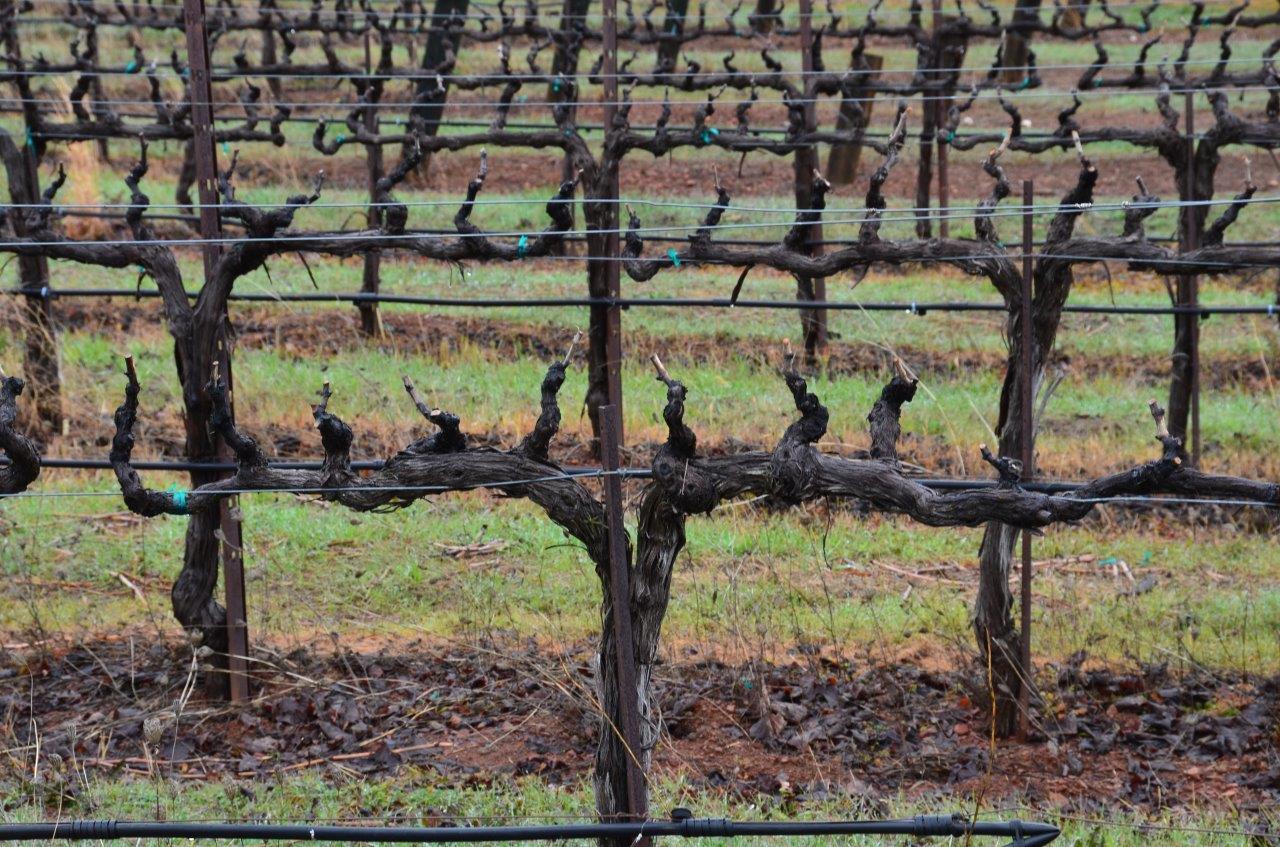 Bilateral Cordon spur pruned vines at Naggiar Vineyards