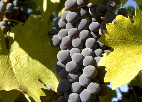 grapes 003