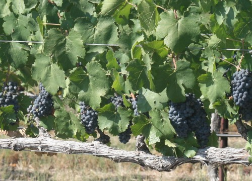grapes2013