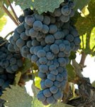 mourvedre-1