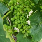 Green Grape Cluster in June