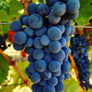 Grapes Naggiar Winery
