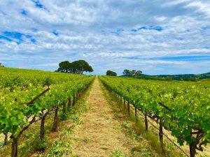 Green Vines Naggiar Root 49