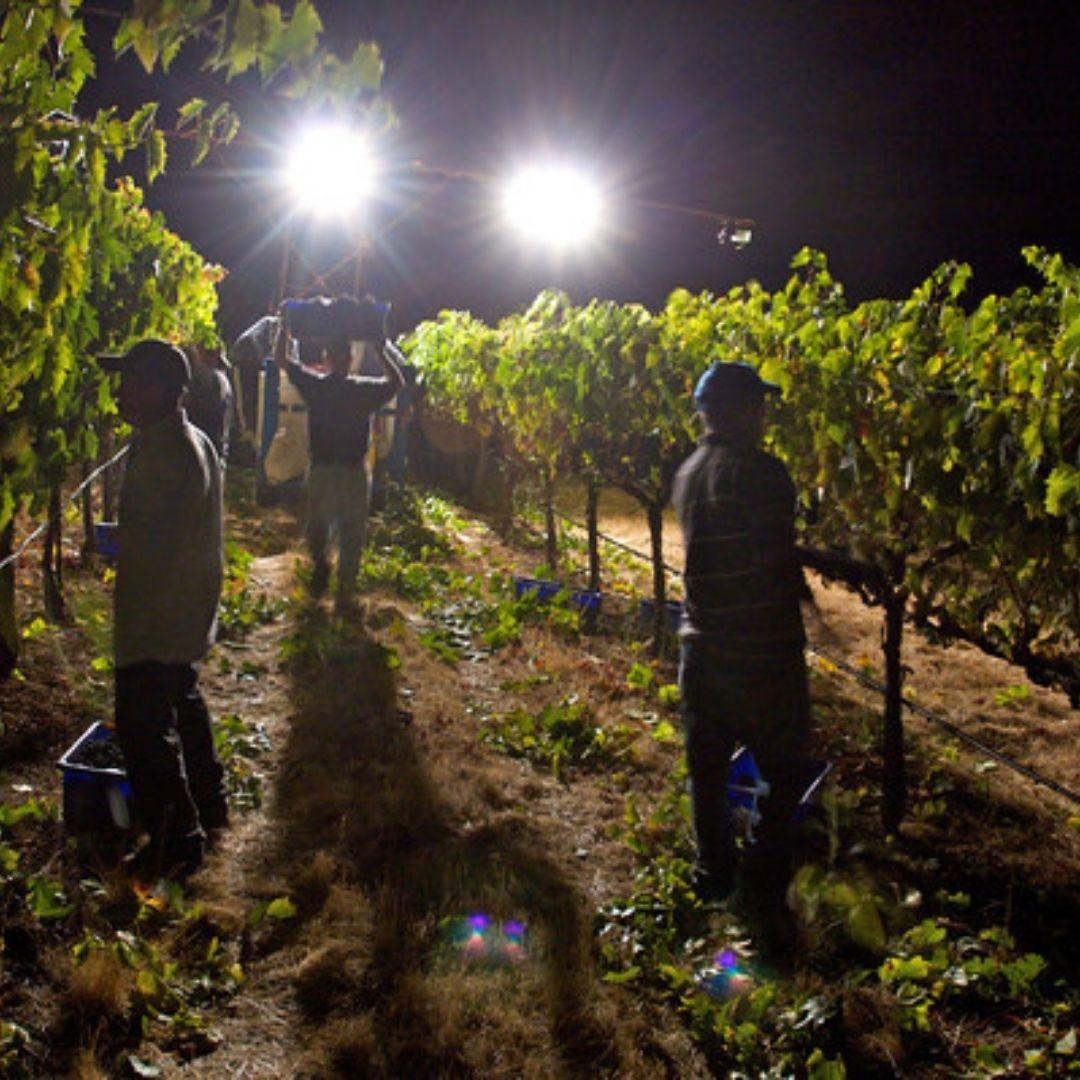 Harvesting Naggiar Wines