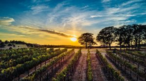 Naggiar Vineyard, Best Vineyard, Grass Valley