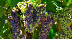 Naggiar green and purple grapes