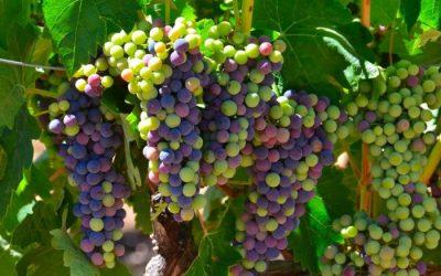 Root 49 grapes